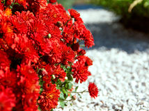 Background of the red color gerberas Stock Photos