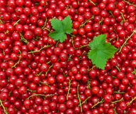 Background of red currant berries. top view - horizontal photo. Royalty Free Stock Image