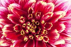 Background of red flower of aster , close up Stock Photos