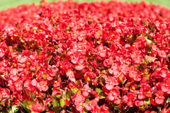 Background of red flowers Royalty Free Stock Photo