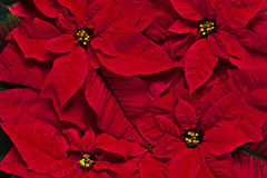 Background of red flowers. Background of red bright flowers Royalty Free Stock Photos