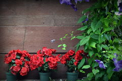Background, red flowers in pots. Red flowers in pots, on wooden background Stock Photo