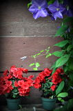 Background, red flowers in pots. Red flowers in pots, on wooden background Royalty Free Stock Photos