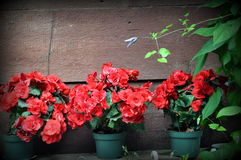 Background, red flowers in pots royalty free stock photos