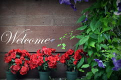 Background, red flowers in pots Stock Photography