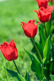 Background is red flowers of Tulip royalty free stock photos