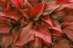 Background of Red leaves with drops of rain. Variegated red leaves Stock Photos