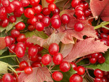 Background of red leaves and viburnum berries. Royalty Free Stock Photo