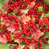 Background of red leaves and viburnum berries. Background of bright red leaves and twigs of the viburnum berries Royalty Free Stock Images