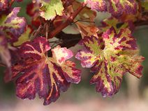 Background of red leaves of a vineyard in autumn Royalty Free Stock Photos