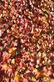 The background of red leaves of wild vine Royalty Free Stock Image