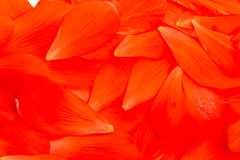 Background of red petals Stock Images
