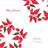 Background  with red poinsettia Royalty Free Stock Photo