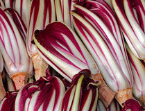 Background of red radicchio havested in the Po Valley in Italy i Royalty Free Stock Photo