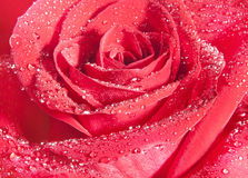 Background of red rose Stock Images
