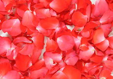 Background of red rose petals Royalty Free Stock Image