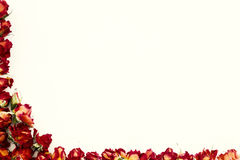 Background with red roses isolated on white with sample text Stock Photos