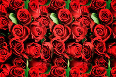 Background of red roses symbolic of love. Background of beautiful fresh densely packed red roses symbolic of love and romance for a Valentines or anniversary Stock Photos