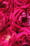 Background of red rosses Royalty Free Stock Photography