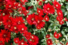 Background red texture abstract chrysanthemum flowers spring Royalty Free Stock Images