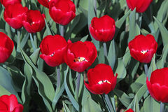 Background of red tulips and green leaves. On a sunny day Stock Image