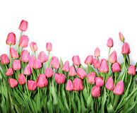 Background with red tulips Royalty Free Stock Photos