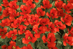 Background with red tulips. Background with red tulips, a photo from the top, vertical Royalty Free Stock Image