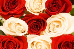 Background of the red and white roses. Background of the  red and white roses Stock Image