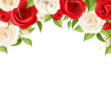 Background with red and white roses. Vector illustration. Royalty Free Stock Image
