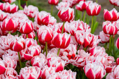 Background with red white tulips Royalty Free Stock Photography