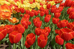 Background with red, yellow and orange tulips, a photo from the. Top, vertical Stock Images