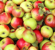 Background of red and yellow organic apples grown Royalty Free Stock Photography