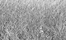 Background reed fields Royalty Free Stock Photos
