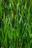 Background from the reeds Stock Photography