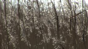 Background reeds in the wind. Background of reeds swaying in the wind stock video footage
