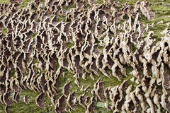 Background. Rhythm of bracket-fungus on a tree 2 Stock Photography