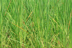 Background  rice field Royalty Free Stock Images