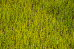 Background rice field Stock Images