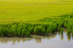 Background rice fields water Royalty Free Stock Photos