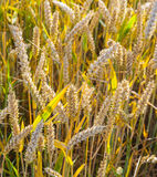 Background of ripe corn field Royalty Free Stock Photography