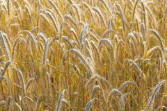 Background of ripe corn field Royalty Free Stock Images