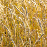Background of ripe corn field Stock Images