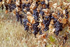 Background of ripe grapes Moldova Stock Image