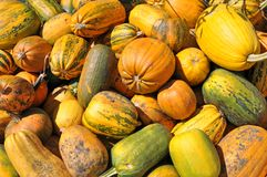 Background from ripe pumpkins. Stock Photos