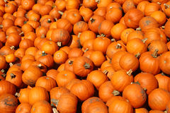 Background of ripe pumpkins Royalty Free Stock Photo