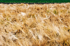 Background with ripe wheat Royalty Free Stock Photo
