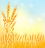 Background with ripe yellow wheat ears. Agricultural  illustration Royalty Free Stock Image