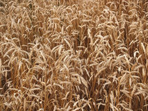 Background from the ripened wheat ears in the field Royalty Free Stock Image