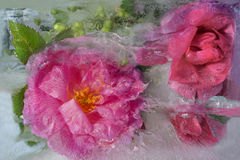 Background of   rosa flower frozen in ice Stock Photo