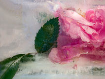 Background of   rosa flower frozen in ice Royalty Free Stock Photo